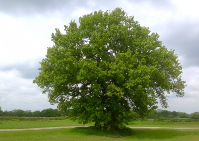 Magnificent Oak at Dale Hill
