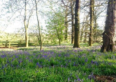 Bluebells at Locko