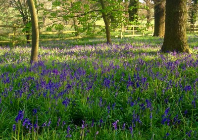 Bluebell Wood, Locko Park