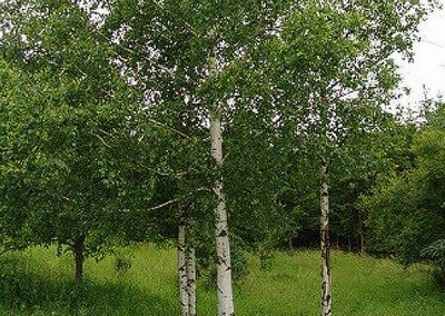 Silver Birch will be planted