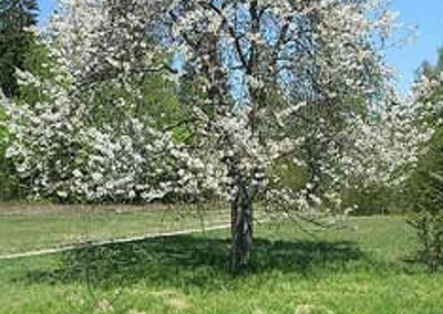 Wild Cherry available to plant