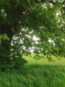 oak-tree-part-of