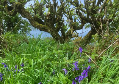 Bluebell Hedge in Spring