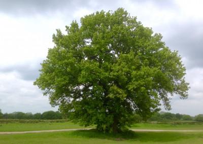 Magnificent Oak at Dale Hill