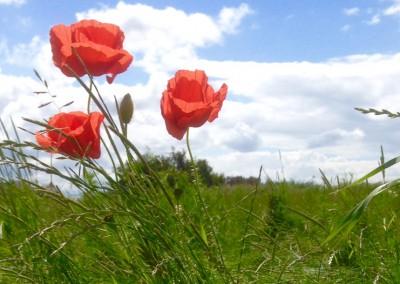 Poppies in June